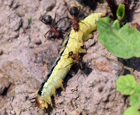 イモ虫がアリに…
