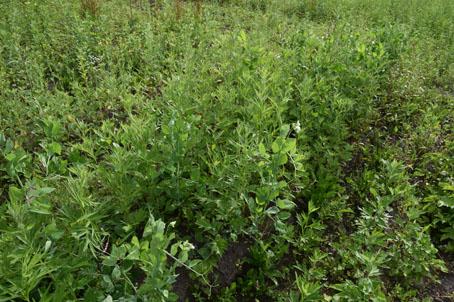 豆が雑草とともに生きている