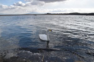 濤沸湖の白鳥