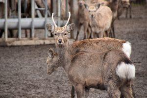 斜里の鹿(エゾシカファーム)