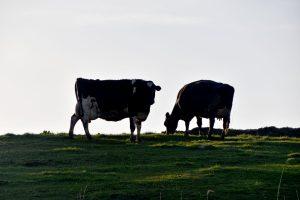 陸別町の牛