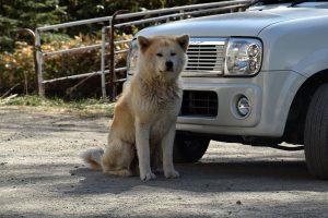 新得町のオソウシ温泉の犬