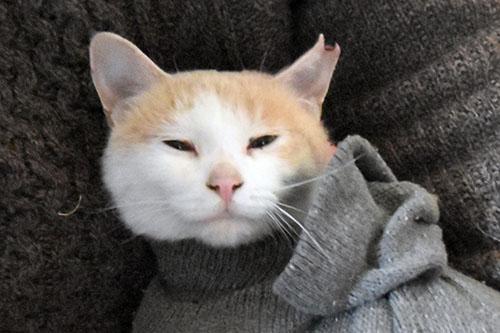 猫のクリームマロン