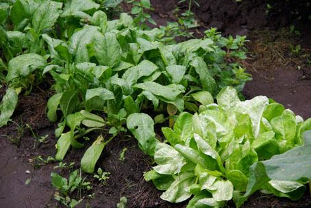 ホウレンソウとサラダ菜