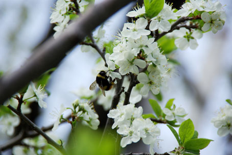 サクランボの花とクマンバチ