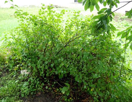 グスベリの木