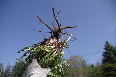 たんぽぽの収穫